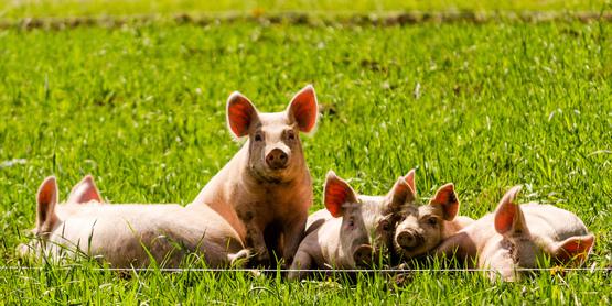 4-H Swine Project