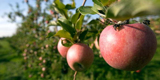 You'll find u-pick apples starting in August.