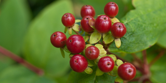 Humans have been collecting berries and nuts for thousands of years