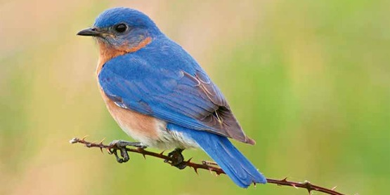 Learn how to attract bluebirds to your landscape while improving your gardening skills.