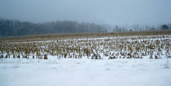 Crows in a cornfield, winter