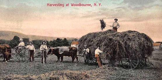 Harvesting at Woodbourne, 1911 from a vintage postcard