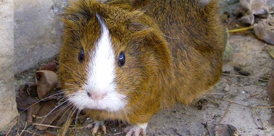 Cavies -- or Guinea Pigs -- can be a club or project interest.