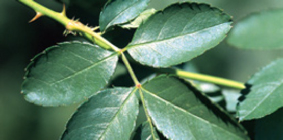 Multiflora Rose foliage