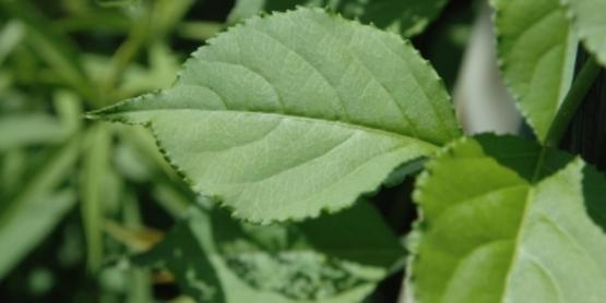 Oriental Bittersweet foliage