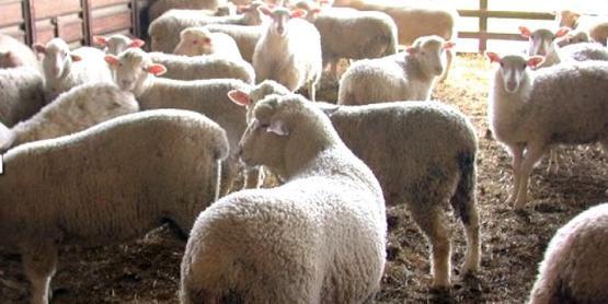 livestock...