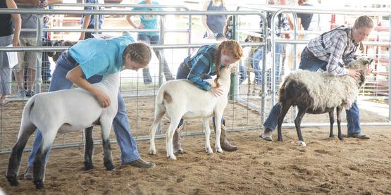 Three 4-H Members participating in the Hemlock Fair Sheep Show.