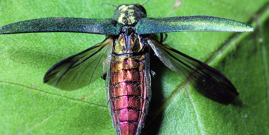 Visit our pages to learn about invasive pests (Emerald Ash Borer)