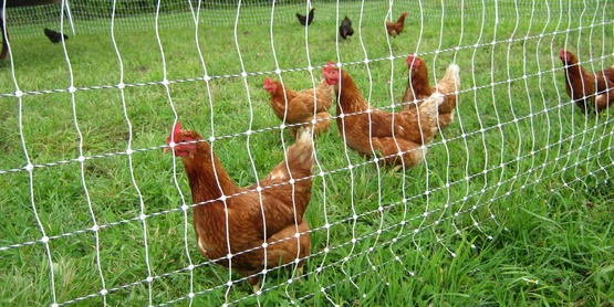 Pastured poultry with an electric fence