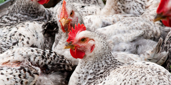 Chickens may be raised as broilers for meat or for their eggs