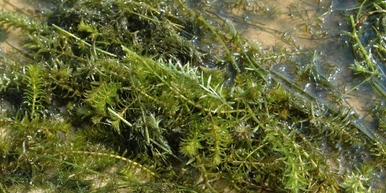 Hydrilla is an aquatic invasive that has been found in Tompkins County