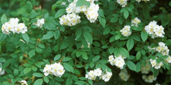 Multiflora Rose flower