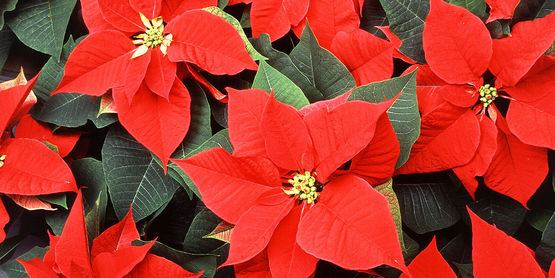 When buying poinsettias, inspect carefully for white flies and/or eggs.