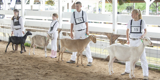 Four 4-Hers participating in the Hemlock Fair Goat Show.