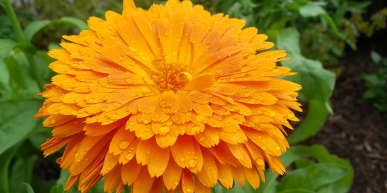 Orange Calendula