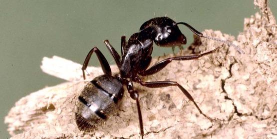 Adult black carpenter ant Camponotus pennsylvanicus (De Geer)