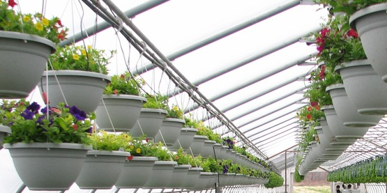 Hanging plants in a commercial greenhouse