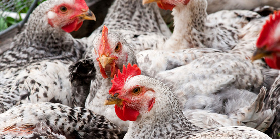We rank fourth in production of poultry and eggs...