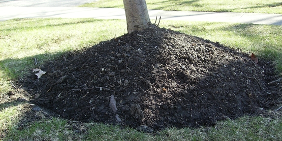 DO NOT volcano mulch like this, skirt of the plant should be visible.