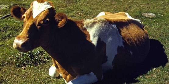 Guernsey cow or calf lying on the ground