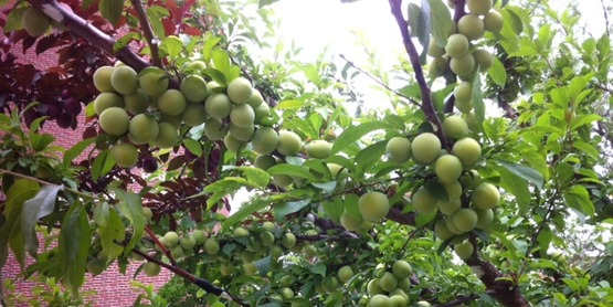 Plums on 40 Fruit Tree