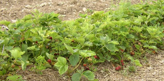 April is a good time to plant strawberries and mulch them.