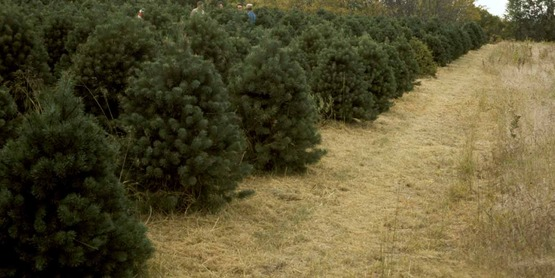 Trees at a Christmas tree Plantation