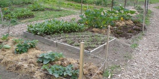 CCE-Schuyler Community Gardens 2009 squash, raised beds