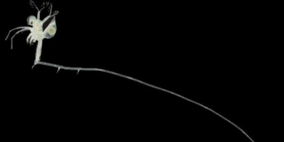 fishhook waterflea  Cercopagis pengoi