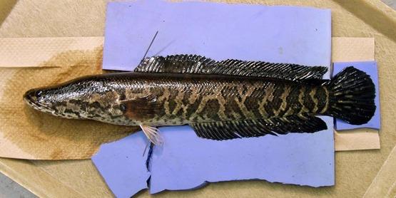 northern snakehead,  Channa argus