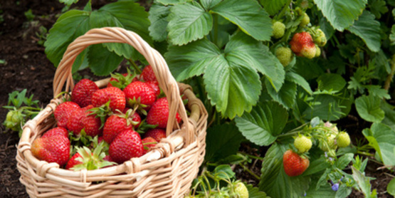 Strawberries in a basket in home garden.