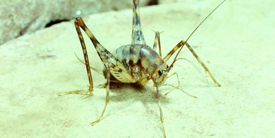 Adult camel cricket
