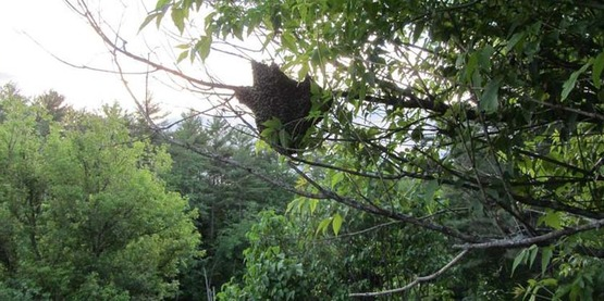 bee swarm in a tree, honey bees, Apis mellifera