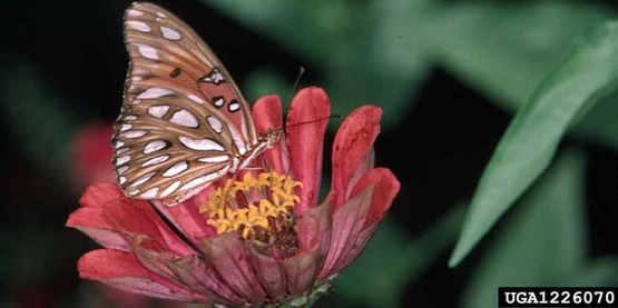 Adult gulf fritillary butterfly Agraulis vanillae (Linnaeus)