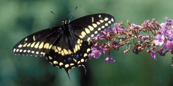Black swallowtail (Papilio polyxenes) is a common butterfly in our region.