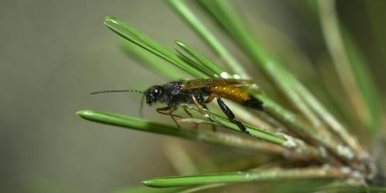 Sirex woodwasp  Sirex noctilio