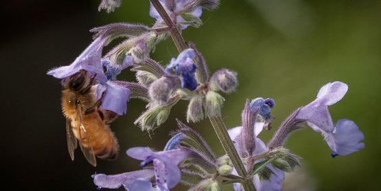 A honey bee is attracted to flowers in theUSDA People's Garden, pollinator garden in Washington, D.C. (USDA Photo).