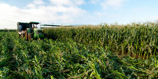 Corn is harvested on Uesugi Farms in Gilroy, CA on Wednesday, Aug. 28, 2013. USDA