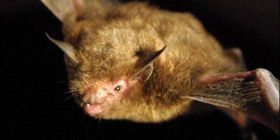 Indiana bat