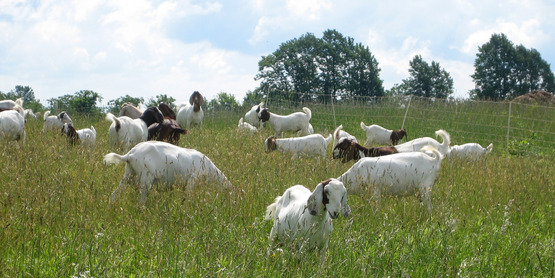 Meat goats grazing