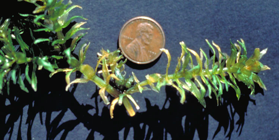 Invasive hydrilla