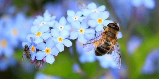 Hover flies on a cluster of forget-me-nots