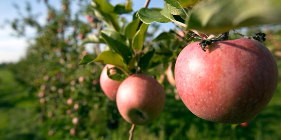 You'll find u-pick apples starting in August