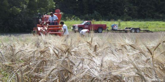 Cornell small grain trial harvest Hudson Valley 2014