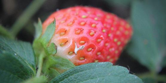 strawberry, Yates County NY