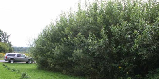 Shrub willow  is a sustainable resource for bioenergy, biofuels, and bioproducts.