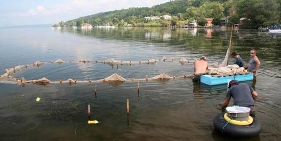 Closing barriers SE Cayuga lake, hydrilla eradication