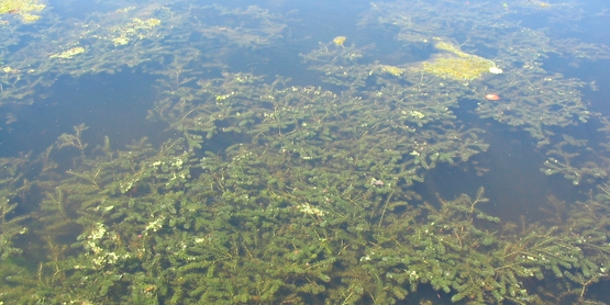 hydrilla  Hydrilla verticillata