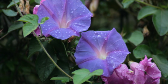 Morning glory is an herbaceous annual that is rarely damaged by deer.