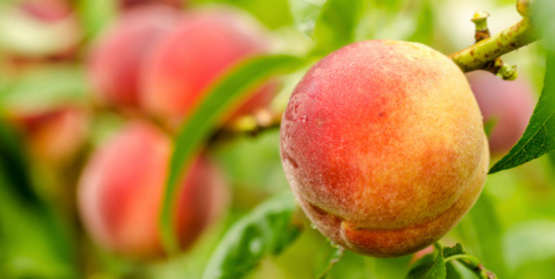peaches in the orchard